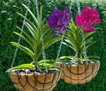 Orquídeas em vasos suspensos
