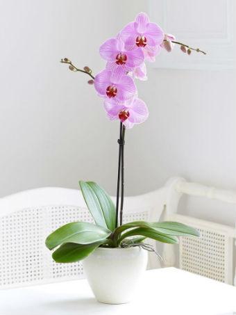 Orquídeas em vaso branco