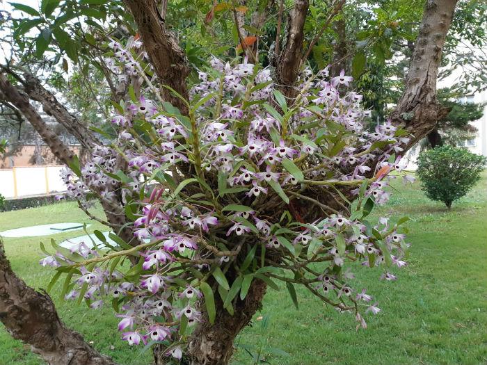 Orquídeas que foram transplantadas em tronco de árvore