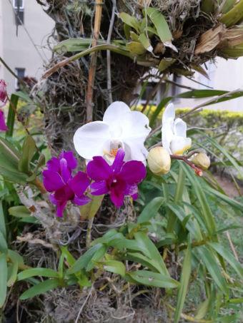 Orquídeas em tronco de árvore