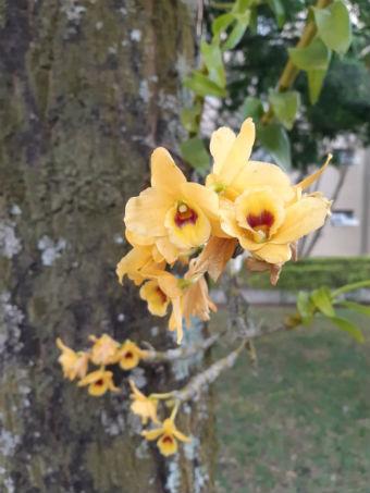 Orquídeas amarelas em jardim