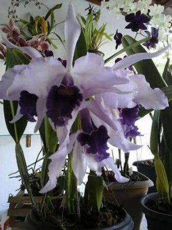 Orquídeas brancas e roxas em vasos