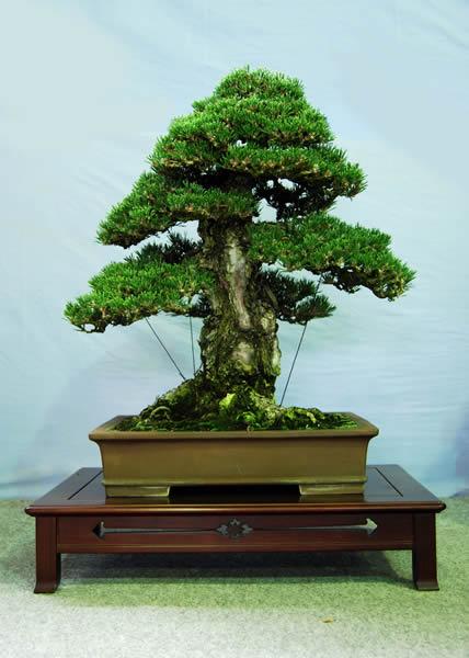 Bonsai: muito lindo e grande