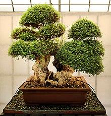 Bonsai: tronco grande
