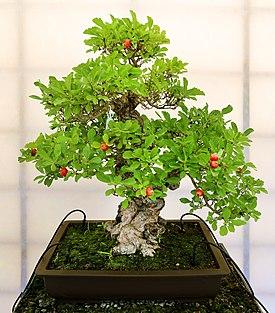 Bonsai: com sementes vermelhinhas