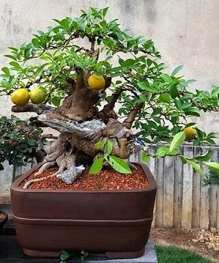 Bonsai: com frutinhos amarelos