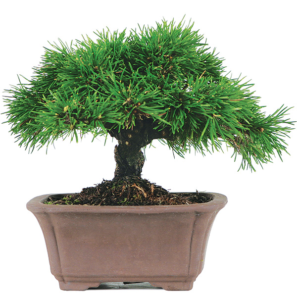 Bonsai: ouriço