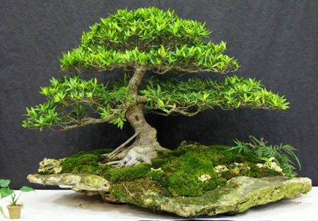 Bonsai: na pedra